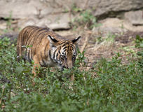 Tiger cub in Underbrush Stock Photography