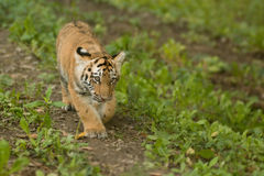 Tiger Cub walking. Through wild grass royalty free stock image