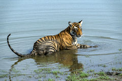 Tiger cub in water Royalty Free Stock Photo