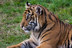 Tiger Cub at the Zoo Stock Photography