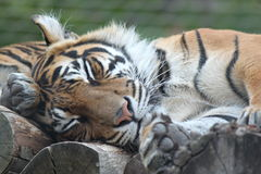 Tiger cub in ZSL, London Zoo Royalty Free Stock Photo