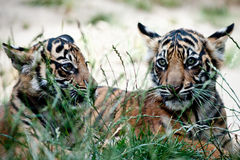 Tiger Cubs Stockbilder