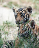 Tiger Cubs Stockfoto
