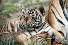 Tiger Cubs Royalty Free Stock Images