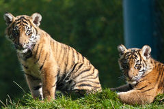 Tiger cubs Stock Images