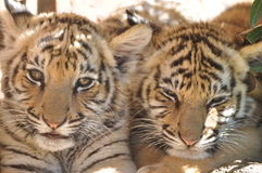 Tiger Cubs Royalty Free Stock Photos
