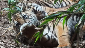 Tiger Cubs stock videobeelden