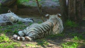 Tiger Cubs clips vidéos