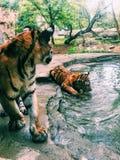 Tiger Cubs Lizenzfreie Stockbilder