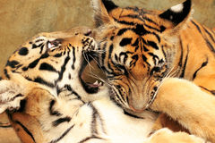Tiger Cubs Fighting Stock Photo