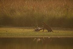 Tiger cubs first aggression. Next to the Rajbagh lake in Ranthambhore National Park in India Stock Photo