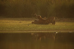 Tiger cubs first aggression. Next to the Rajbagh lake in Ranthambhore National Park in India Royalty Free Stock Images