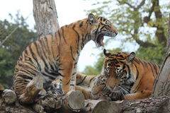 Tiger cubs with the mom Royalty Free Stock Images