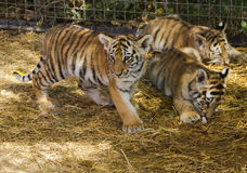 The tiger cubs in the nursery Royalty Free Stock Photo