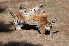 Tiger cubs at play Stock Images