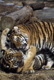 Tiger cubs playing. Phila. zoo, Pa Royalty Free Stock Photo