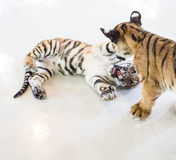 Tiger cubs playing Stock Photo