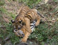 Tiger Cubs Playing Stock Image