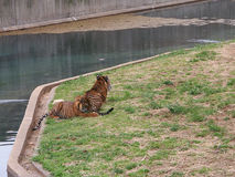 Tiger cubs are playing in a zoo Stock Images