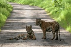Tiger Cubs on Road at Tadoba, Chandrapur, Maharashtra, India.  royalty free stock photography