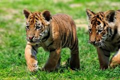Tiger Cubs Royalty Free Stock Photography