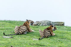 Tiger cubs watching crocodile Royalty Free Stock Images