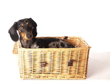 Tiger dachshund in a basket Royalty Free Stock Image