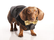 Tiger dachshund with a bow Royalty Free Stock Photography