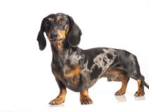 Tiger dachshund Royalty Free Stock Image