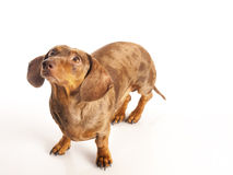 Tiger dachshund Royalty Free Stock Images