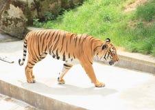 Tiger. Danger orange tiger walking on concrete Stock Images