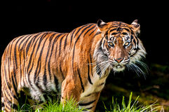 Tiger in dark background stock photo