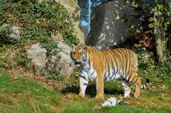 Tiger from Dartmoor Zoo. royalty free stock photos
