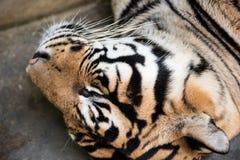 Tiger In Deep Sleep photos stock