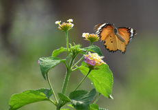 Tiger, der über Lantana fliegt Stockfotografie