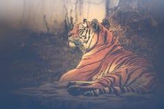 Tiger, der auf einem Felsen in einem Zoo sitzt stockfotografie