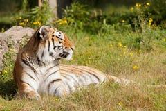Tiger, der auf einem Gebiet stillsteht lizenzfreie stockbilder