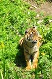 Tiger, der in der Sonne liegt Stockbild