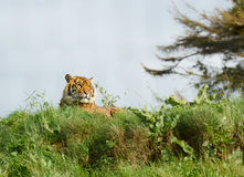 Tiger, der in der Sonne sich hinlegt sich entspannt Stockfotos