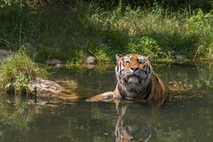 Tiger, der ein Bad nimmt Stockfoto