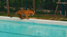 Tiger, der in ein blaues Pool geht stock video footage