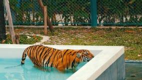 Tiger, der in ein blaues Pool geht stock footage