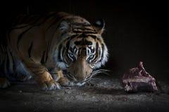 Tiger, der ein Stück Fleisch isst Lizenzfreie Stockfotografie