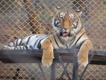 Tiger, der in einem Zoo sitzt lizenzfreie stockfotografie