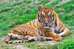 Tiger, der entlang Sie anstarrt Lizenzfreie Stockfotografie