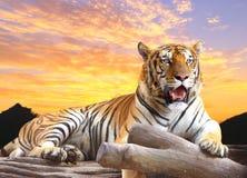Tiger, der etwas auf dem Felsen schaut lizenzfreie stockfotos