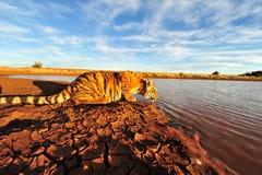 Tiger, der etwas trinkt stockfoto