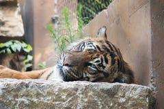 Tiger, der faul ist Stockbilder