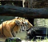 Tiger, der Gummireifen leckt Stockfoto