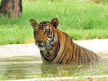 Tiger, der heiße Sommer kämpft Stockfotos